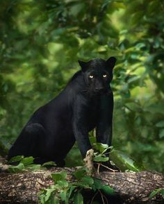 The Beauty of Wildlife : Black Panther