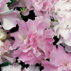 Double Cascade Orchid Mist Hybrid Petunia Flower park Seeds - or something similar for galvanized buckets