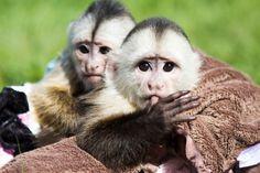 Cinnamon Capuchins.