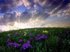 Iris #iris