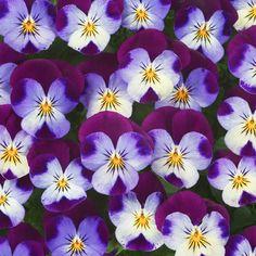 Elegant Winterveilchen ice babies white purple wing shop mein schoener garten de