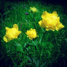 Pünkösdi rózsának is nevezik a most nyíló, védett zergeboglárt (Trollius europaeus)