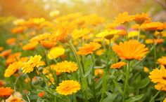 Growing Calendula (Pot Marigold) from Seed Different Kinds Of Flowers, Different Plants, Permaculture, Organic Facial Cleanser, Calendula Tea, Garden News, Marigold Flower, Summer Backgrounds, Turmeric Root