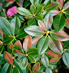 Il cancro rameale o seccume del lauroceraso malattie piante for Lauroceraso malattie