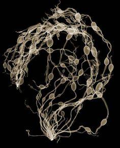 Nick Veasey - Seaweed swirl, Ed. II/V
