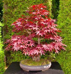 RP: Acer Palmatum 'Atropurpureum' - Classic Red-leaved Japanese Maple