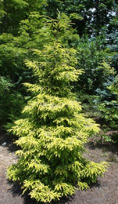 Picea orientalis Skylands:  Bold, but not gaudy, this full, upright spruce is an excellent choice for adding bright, year-round color to a large garden. Its fine, spiky needles emerge electric yellow in spring and gradually soften to a rich gold that stands out against the dark green, interior foliage.
