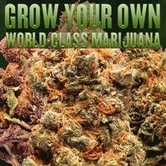 There are several things about growing marijuana that people have to think about if they want to get the best possible results out of a plan to get it going well. A plan for growing marijuana can vary according to what might be handled here. It's a good idea to see how the Growing Elite Marijuana can offer information to people about how weed works and how well it can be prepared. http://easy420grow.com/