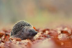 Baby Animals, Cute Animals, Happy Hedgehog, Foxes Photography, Cute Squirrel, Leopards, Red Fox, Sloth, Lions