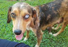 Aussie Mix, Beagle Mix, Cali, Dog Breeds, Dogs, Check, Animals, Animales, Animaux