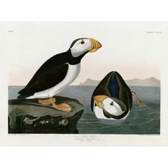 """Large billed Puffin by John James Audubon, appears in the book """"Okay for Now"""" by Gary D. Schmidt."""