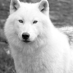 White wolf  - Pixdaus