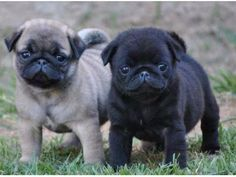 Precious Male And Female Pug Puppies Pug Puppies Baby Pugs Pugs