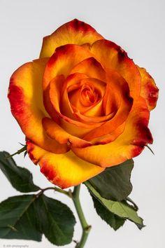 Beautiful Rose Flowers, Exotic Flowers, Amazing Flowers, Rose Orange, Yellow Roses, Rose Reference, Rainbow Roses, Hybrid Tea Roses, Rose Photos