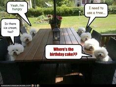 Seven Bichon Frise at a Birthday Party.