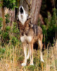 ~Red wolf ~ by fridayschild68 on Flickr.~