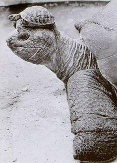 Turtle on Tortoise animal, animals, baby, baby animals, beautiful Cute Baby Animals baby! Beautiful Creatures, Animals Beautiful, Beautiful Boys, Cute Baby Animals, Funny Animals, Wild Animals, Tortoise Turtle, Baby Tortoise, Giant Tortoise