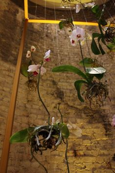 Gorgeous. Yes. Hang orchids from fishing line, roots and all.
