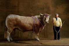"This is French Champion tri-colored bull, named, ""Yellow Cardy."" No info on the cattle breed, but my hunch is Chianina, from Italy."
