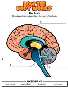 Label the brain free printable