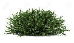 Image result for bushes png