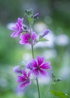 As a native Malva sylvestris spreads itself on waste and rough ground, by roads and railways throughout lowland England, Wales and Channel Islands, Siberia and scattered elsewhere.