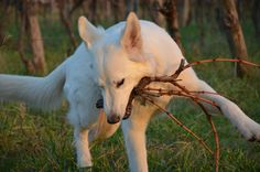 white shepherd playing