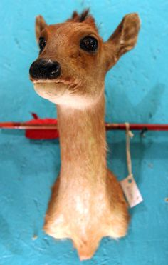 Just look at that face!  Vintage Taxidermy Duiker by mammothcurios on Etsy, $475.00