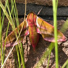 Anyone know what this awesome #Moth is? Chilling in our grasses all afternoon. #MiniGingerBatMoth ?