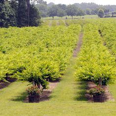 Enjoy the beautiful vineyards at Hinnants Family Vineyard and Winery near Smithfield, NC.  Plan a visit, take a tour, enjoy the county's wine trail or plan your wedding at the vineyard.  Learn more on www.visitsmithfield.org
