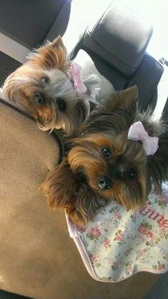 Yorkshire Terriers... Are we there yet?