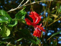 Red Hibiscus. QLD.