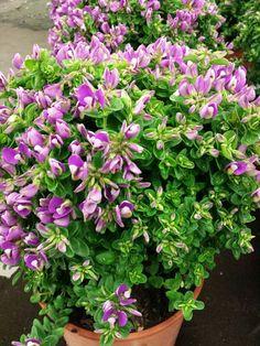 #Polygala #Myrtifolia #BabyPink; Available at www.barendsen.nl