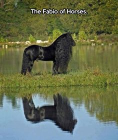 The ever-majestic Fresian // funny pictures - funny photos - funny images - funny pics - funny quotes - #lol #humor #funnypictures