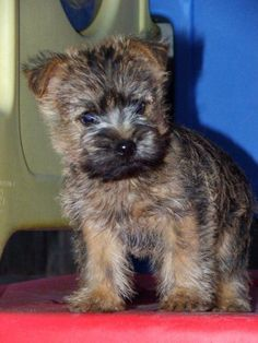Cairn terrier puppy - one day!