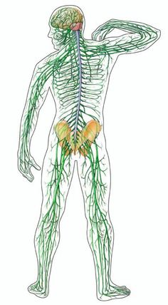 What is Peripheral Neuropathy? Discover the best resources for learning about this series of disorders affecting the peripheral nervous system. Nerve Disorders, Ulnar Nerve, Peripheral Nervous System, Human Body Systems, Peripheral Neuropathy, Central Nervous System, Circulatory System, Multiple Sclerosis