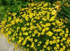 "Coreopsis ""Moonbeam""  drought tolerant, short fast spreading, blooms June-Aug, good border plant"