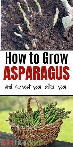 """This contains: top is a pic of asparagus crowns in the ground, middle says """"How to Grow Asparagus and harvest year after year"""", bottom is a pic of a basket of freshly harvested asparagus Growing Vegetables Indoors, Perennial Vegetables, Growing Plants, Asparagus Plant, Backyard Vegetable Gardens, Outdoor Gardens, How To Store Asparagus, Best Perennials, Plants"""