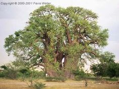 Baobab Tree Baobab Tree, Unique Trees, Flora And Fauna, Country Roads, Vacation, Awesome, Nature, African, Gift