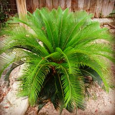 Cycas revoluta - Sago Palm  Likely one of the most poisonous plants in the world. Leaves, seeds and roots are all fatal if ingested.
