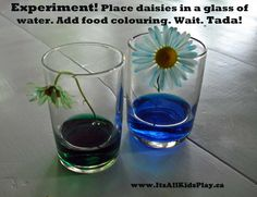 Capillary action your kids can see. A little science experiment fun with daisies and food colouring.    #science #experiments #kids #nature