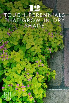 12 Tough Perennials That Grow in Dry Shade Those dry, shaded spots in your yard don't have to be barren. Rely on these easy-care perennials to add color and interest to shady areas. Dry Garden, Garden Yard Ideas, Lawn And Garden, Fruit Garden, Winter Garden, Garden Tips, Vegetable Garden, Long Blooming Perennials, Flowers Perennials