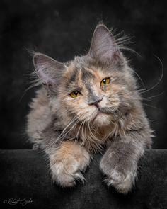 Mýtická bestie: Fotograf zachycuje majestátní krásu mainské mývalí kočky - Evropa 2
