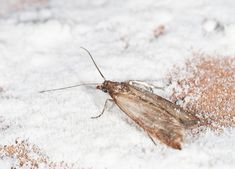 When pantry moths invade, they pose as much of a health risk as a nuisance. Here's how to get rid of pantry moths and prevent them from ever coming back. Moths In House, House Insects, Getting Rid Of Moths, Pantry Moths, Eat You Out, Moth Repellent, Household Pests, Household Tips, Cleaning Tips