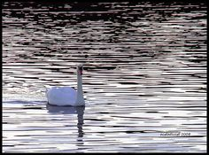 swan swan h by ecstaticist