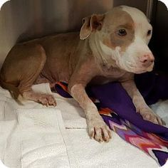 "Still available Nov. 16, 2017. ""Tinsley"" is a beautiful Pit Bull Terrier Mix Dog for adoption in New York, New York - Tinsley Tinsley is about 1.6 years old. She was brought into rescue from a south Texas shelter. She had recently had pups, but sadly, her pups were not with her. Tinsley is up to date on shots and has been spayed. She is good with all people and other dogs. If you would like to adopt Tinsley"