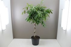 Ficus Amstel King with Spiral Stem - Easy care alternative to Weeping Fig Tree - Tropical appeal foliage - Lush leathery green leaves - Ideal feature plant for homes and offices - Tolerant and forgiving indoor plant - Ficus Alii