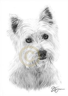 West highland terrier pencil #drawing art print a4 #signed artwork dog #westie, View more on the LINK: http://www.zeppy.io/product/gb/2/282073794371/