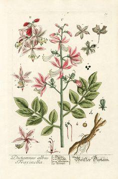 Elizabeth Blackwell Herbarium by Jacob Trew 1757 -Dictamus Albus