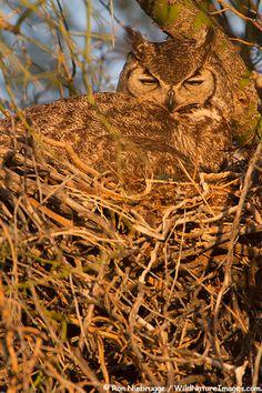 Great Horned Owl, (Bubo virginianus) at McDowell Mountain Regional Park, near Fountain Hills and East of Phoenix, Arizona. Long Eared Owl, Fountain Hills, Barred Owl, Owl Photos, Great Horned Owl, Owl Art, Birds Of Prey, Beautiful Birds, Beautiful Creatures